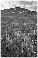 Lupine, buttercups, and rocky ridge. Kenai Fjords National Park ( black and white)