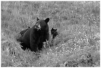 Black bear with cubs. Kenai Fjords National Park ( black and white)