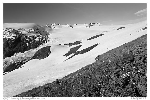 Wildflowers and Harding ice field. Kenai Fjords National Park (black and white)
