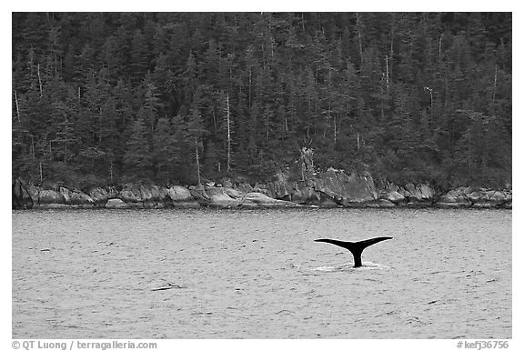 Whale fluke and forest, Aialik Bay. Kenai Fjords National Park (black and white)