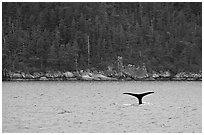 Whale fluke and forest, Aialik Bay. Kenai Fjords National Park, Alaska, USA. (black and white)