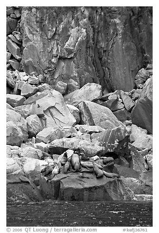 Stellar sea lions hauled out on rock. Kenai Fjords National Park (black and white)
