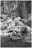 Stellar sea lions hauled out on rock. Kenai Fjords National Park, Alaska, USA. (black and white)