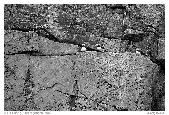 Puffins on rock wall. Kenai Fjords National Park (black and white)