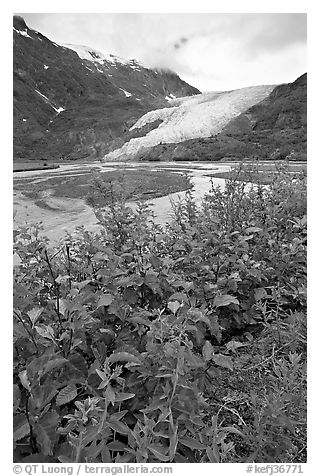 Dwarf fireweed and Exit Glacier. Kenai Fjords National Park (black and white)