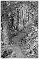 Harding Icefield trail passing through a young forest. Kenai Fjords National Park, Alaska, USA. (black and white)