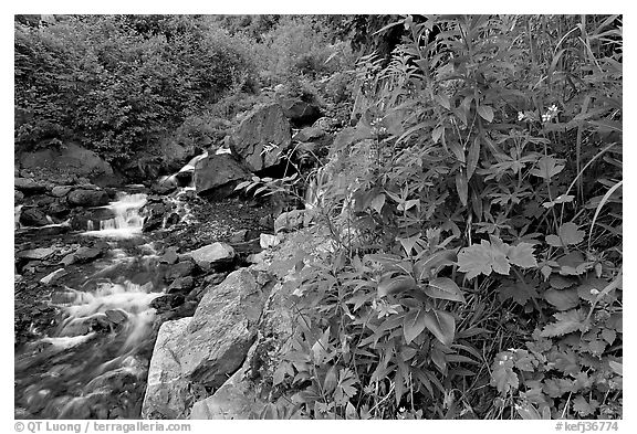 Widflowers and cascading stream. Kenai Fjords National Park (black and white)