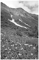 Hills and verdant alpine meadows, seen from Harding Icefield trail. Kenai Fjords National Park, Alaska, USA. (black and white)