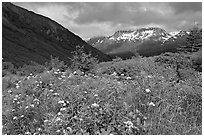 Wildflowers in Marmot Meadows and Resurection Mountains. Kenai Fjords National Park, Alaska, USA. (black and white)