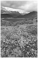 Dwarf Lupine in Marmot Meadows, and Resurection Mountains. Kenai Fjords National Park, Alaska, USA. (black and white)