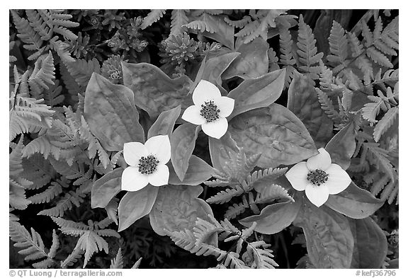 Close-up of flowers and ferns, Marmot Meadows. Kenai Fjords National Park (black and white)