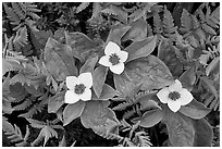 Close-up of flowers and ferns, Marmot Meadows. Kenai Fjords National Park, Alaska, USA. (black and white)