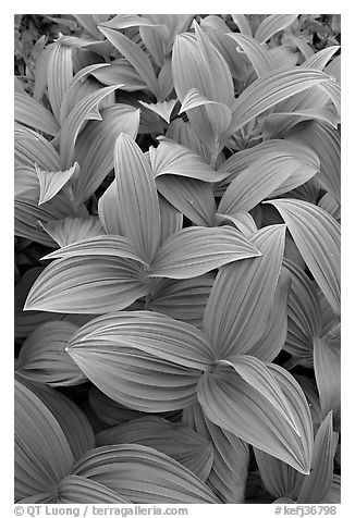 Close-up of leaves, Marmot Meadows. Kenai Fjords National Park (black and white)