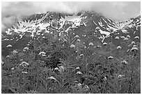Flowers and peaks, Marmot Meadows. Kenai Fjords National Park, Alaska, USA. (black and white)