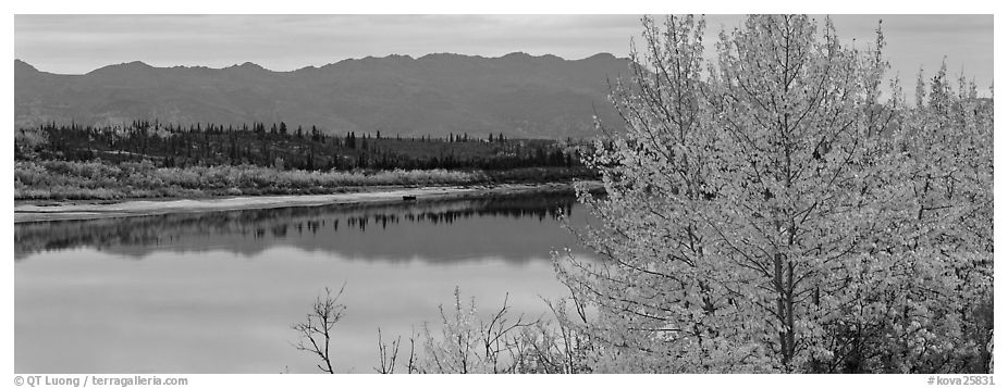 River scene with tree in fall foliage. Kobuk Valley National Park (black and white)
