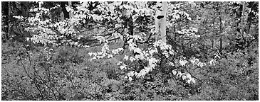 Forest floor and leaves in autumn color. Kobuk Valley National Park (Panoramic black and white)