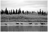 Caribou crossing the Kobuk River during their fall migration. Kobuk Valley National Park, Alaska, USA. (black and white)