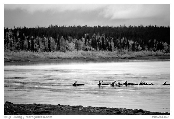 Caribou swimming across the Kobuk River during their fall migration. Kobuk Valley National Park (black and white)