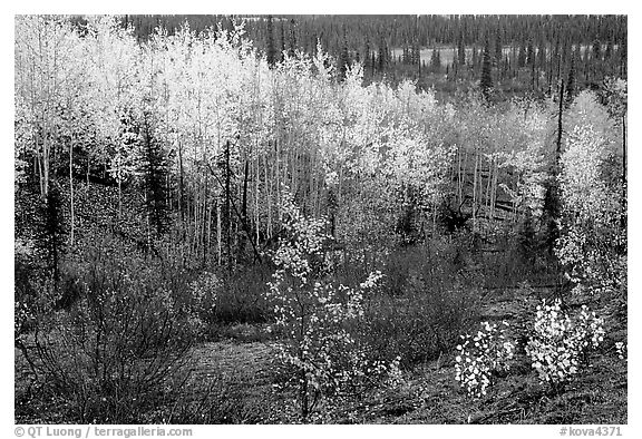 Berry plants and trees in autumn colors near Kavet Creek. Kobuk Valley National Park (black and white)