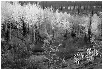 Berry plants and trees in autumn colors near Kavet Creek. Kobuk Valley National Park, Alaska, USA. (black and white)