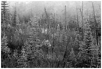 Shrubs and trees in fall foliage near Kavet Creek. Kobuk Valley National Park, Alaska, USA. (black and white)