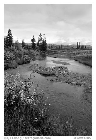 Kavet Creek and spruce trees. Kobuk Valley National Park (black and white)
