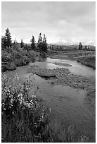 Kavet Creek and spruce trees. Kobuk Valley National Park, Alaska, USA. (black and white)