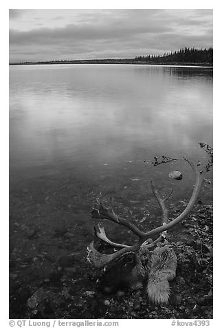 Dead caribou head on the river shore. Kobuk Valley National Park (black and white)