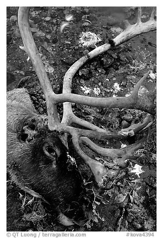 Caribou head discarded by hunters. Kobuk Valley National Park (black and white)