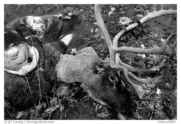 Dead caribou head discarded by hunters. Kobuk Valley National Park (black and white)