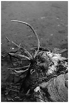 Dead caribou heads discarded by hunters. Kobuk Valley National Park, Alaska, USA. (black and white)