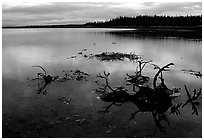 Caribou carcasses on Kobuk River shore. Kobuk Valley National Park, Alaska, USA. (black and white)