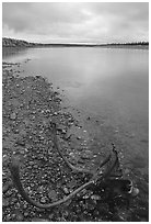 Dead caribou head on Kobuk River shore. Kobuk Valley National Park, Alaska, USA. (black and white)