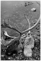 Dead caribou head discarded by hunters. Kobuk Valley National Park, Alaska, USA. (black and white)