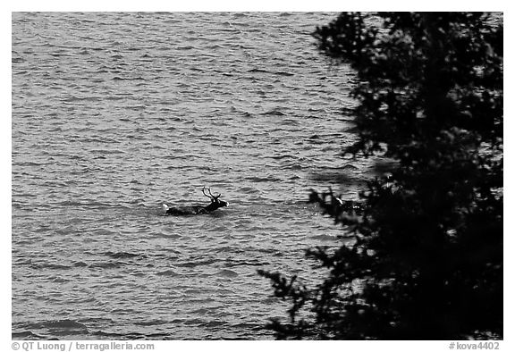 Spruce and lone caribou swimming across the river. Kobuk Valley National Park (black and white)