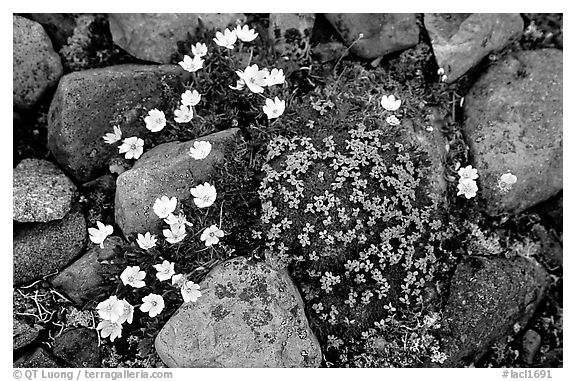 Alpine wildflowers. Lake Clark National Park (black and white)