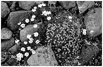 Alpine wildflowers. Lake Clark National Park, Alaska, USA. (black and white)