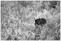 Black bear amongst brush in autumn color. Wrangell-St Elias National Park ( black and white)