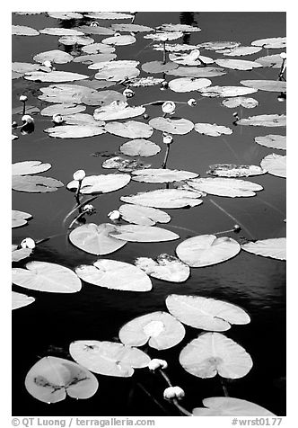 Water lilies in a pond near Chokosna. Wrangell-St Elias National Park (black and white)