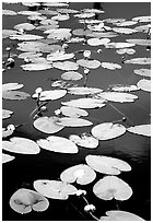 Water lilies in a pond near Chokosna. Wrangell-St Elias National Park ( black and white)