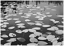 Water lillies with yellow flowers. Wrangell-St Elias National Park ( black and white)