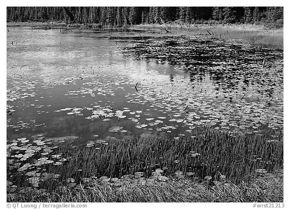 Pond with grasses, water lillies in bloom, and reflections. Wrangell-St Elias National Park (black and white)