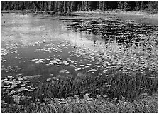 Pond with grasses, water lillies in bloom, and reflections. Wrangell-St Elias National Park, Alaska, USA. (black and white)