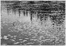 Water lilies and reflections in pond near Chokosna. Wrangell-St Elias National Park ( black and white)
