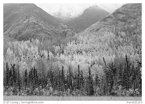 Mountain sloppes with aspens in different stages of autumn colors. Wrangell-St Elias National Park (black and white)