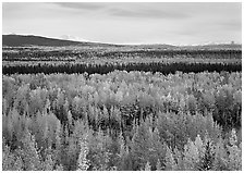 Flat valley with aspen trees in fall colors. Wrangell-St Elias National Park, Alaska, USA. (black and white)