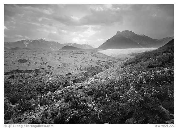 Lupine, Root Glacier, Mt Donohoe. Wrangell-St Elias National Park (black and white)