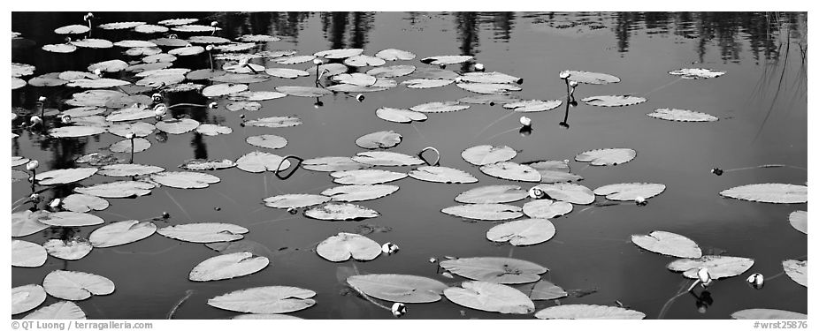 Water lillies in bloom. Wrangell-St Elias National Park (black and white)