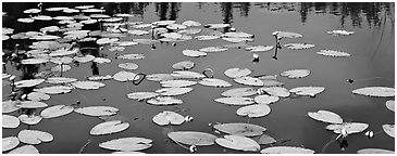 Water lillies in bloom. Wrangell-St Elias National Park (Panoramic black and white)