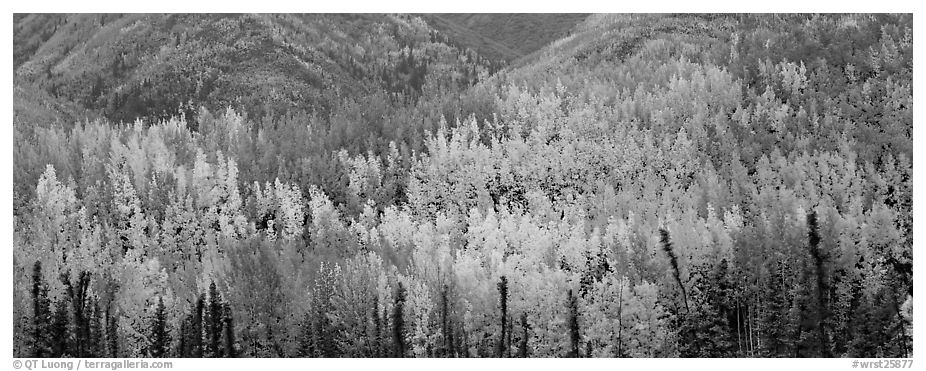 Mosaic of aspens in various color shades. Wrangell-St Elias National Park (black and white)